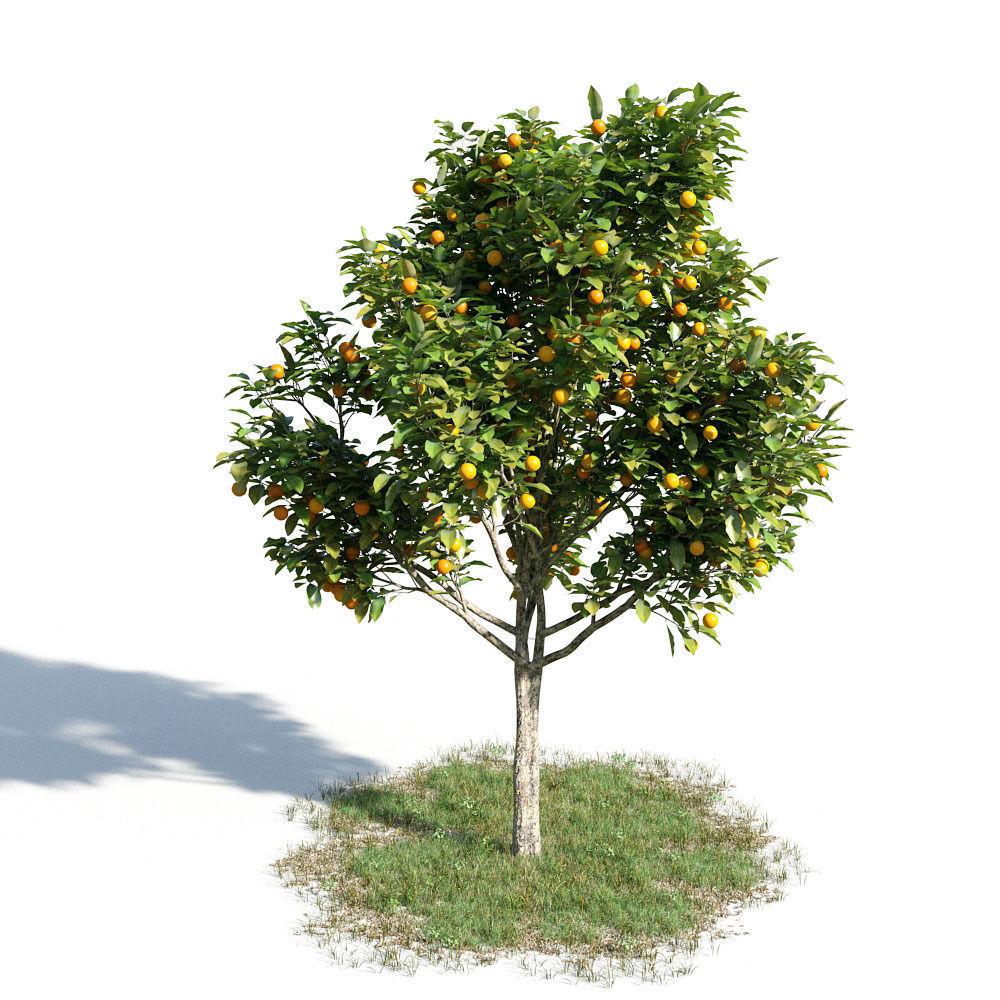 Citrus sinensys 14 am154