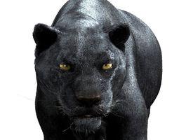 Panther-maya 3D Model