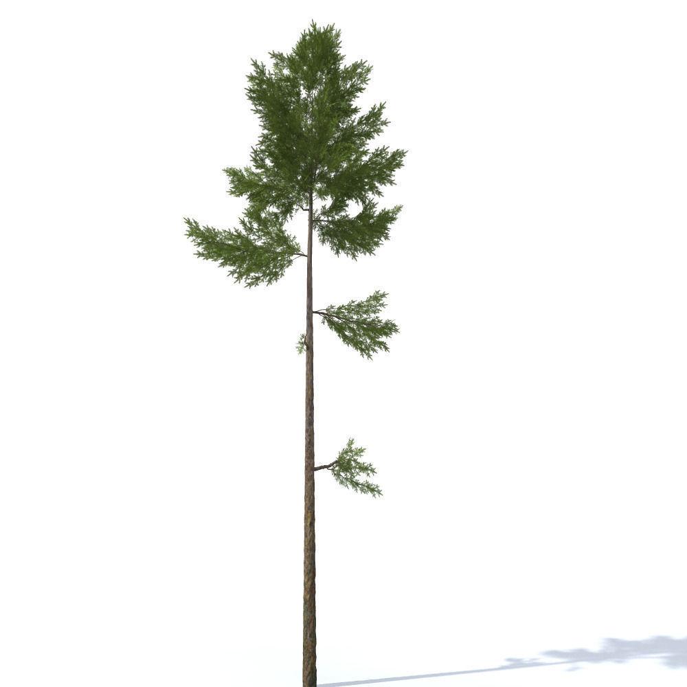 pine tree 23m | 3D model