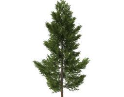 3D model pine tree 24 m