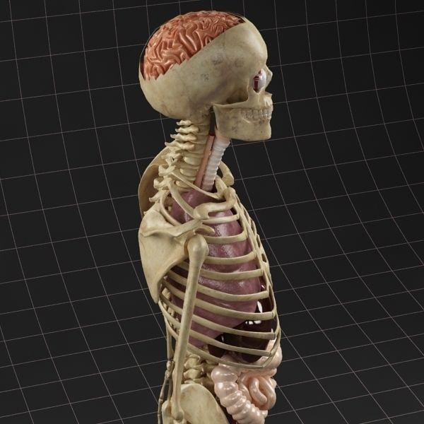 Anatomy Internal Organs Male 3D Model .max