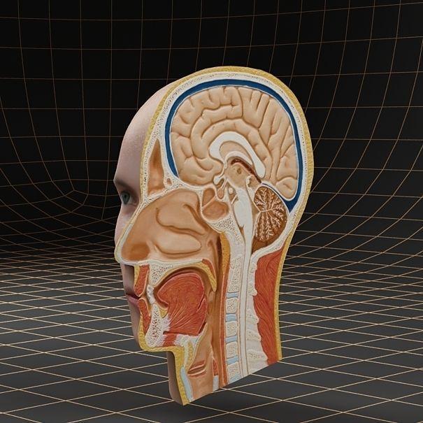 Anatomy head cutaway