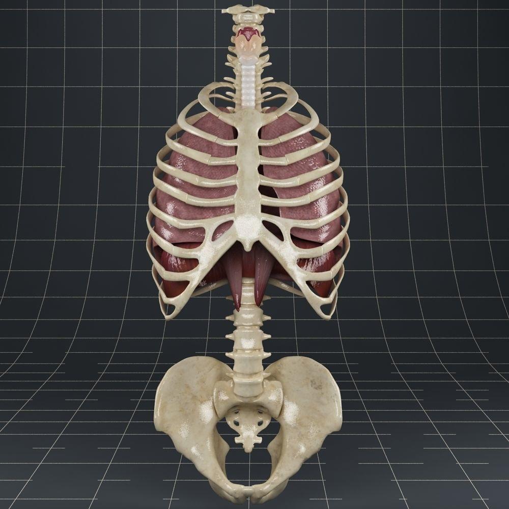 Anatomy Lungs Diaphragm Skeleton