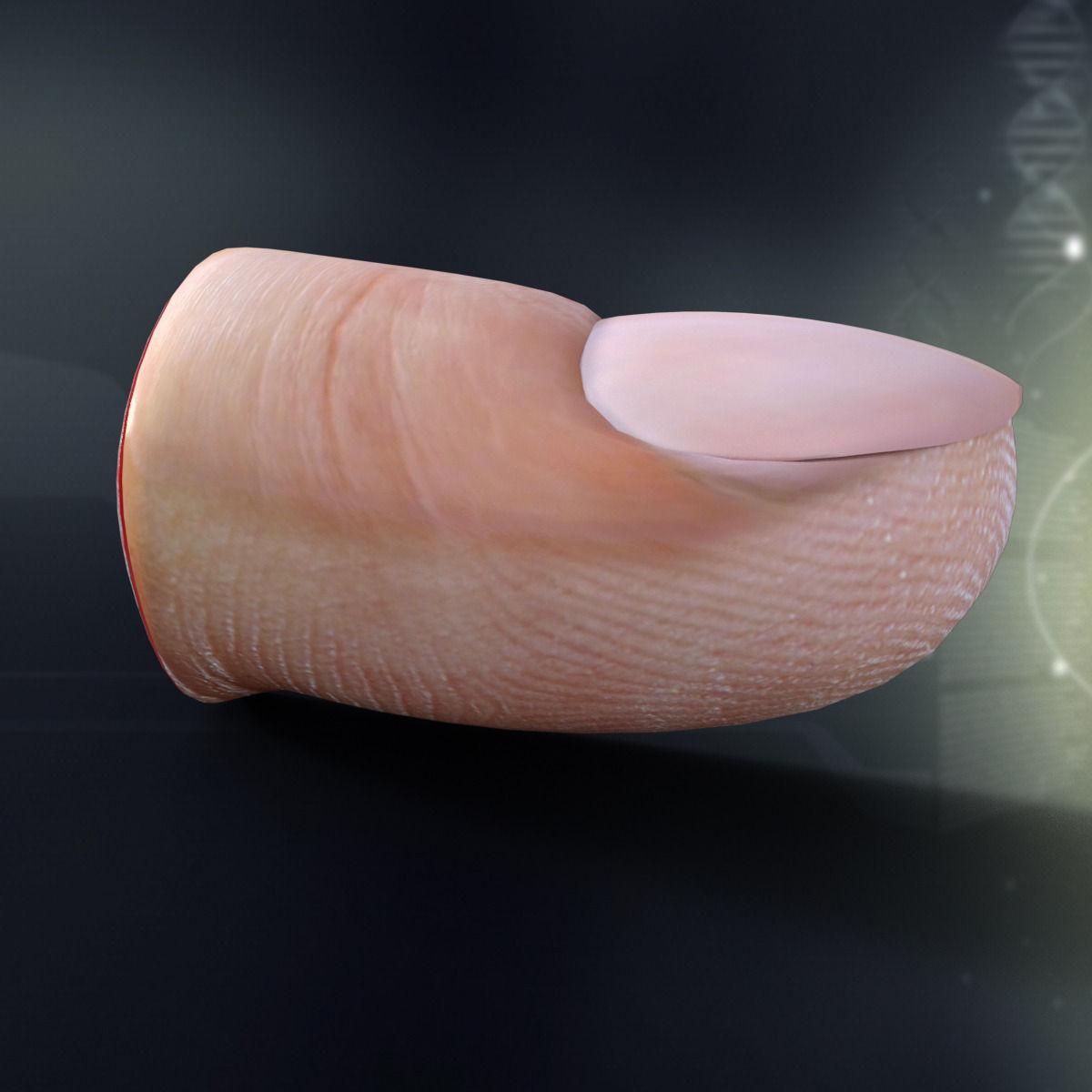 3d Human Finger Anatomy Cgtrader