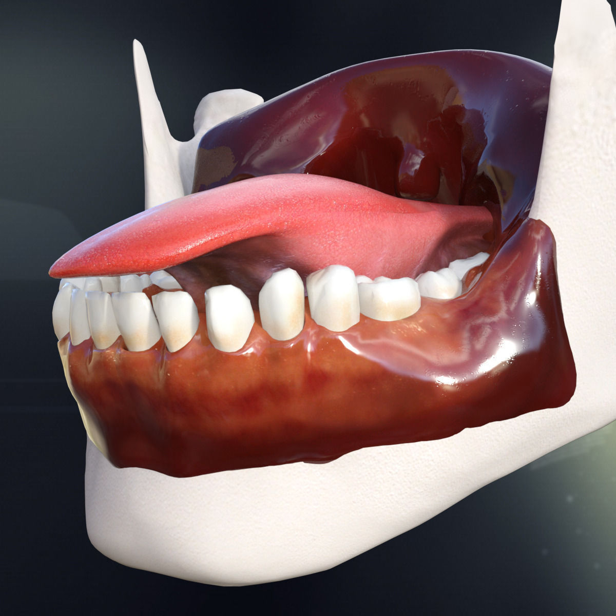 Human Teeth Gums And Tongue Anatomy 3d Model Cgtrader