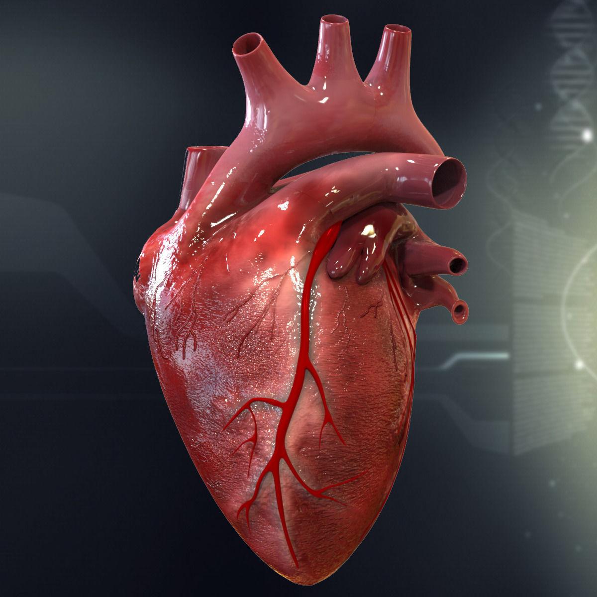Human Heart Cutaway Anatomy 3D model section | CGTrader