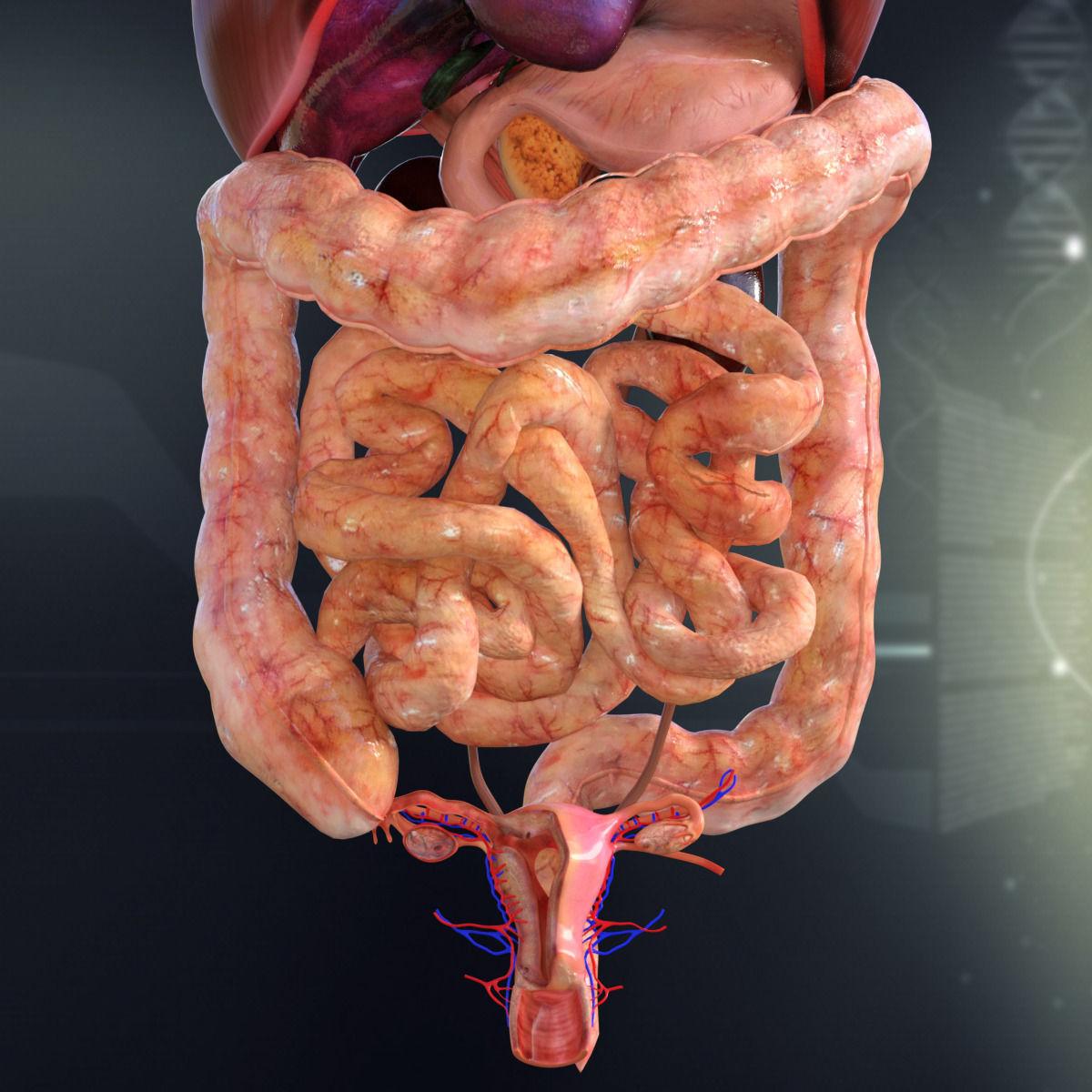 Gemtlich human internal organs anatomy zeitgenssisch menschliche 3d model human female internal organs anatomy cgtrader ccuart Choice Image