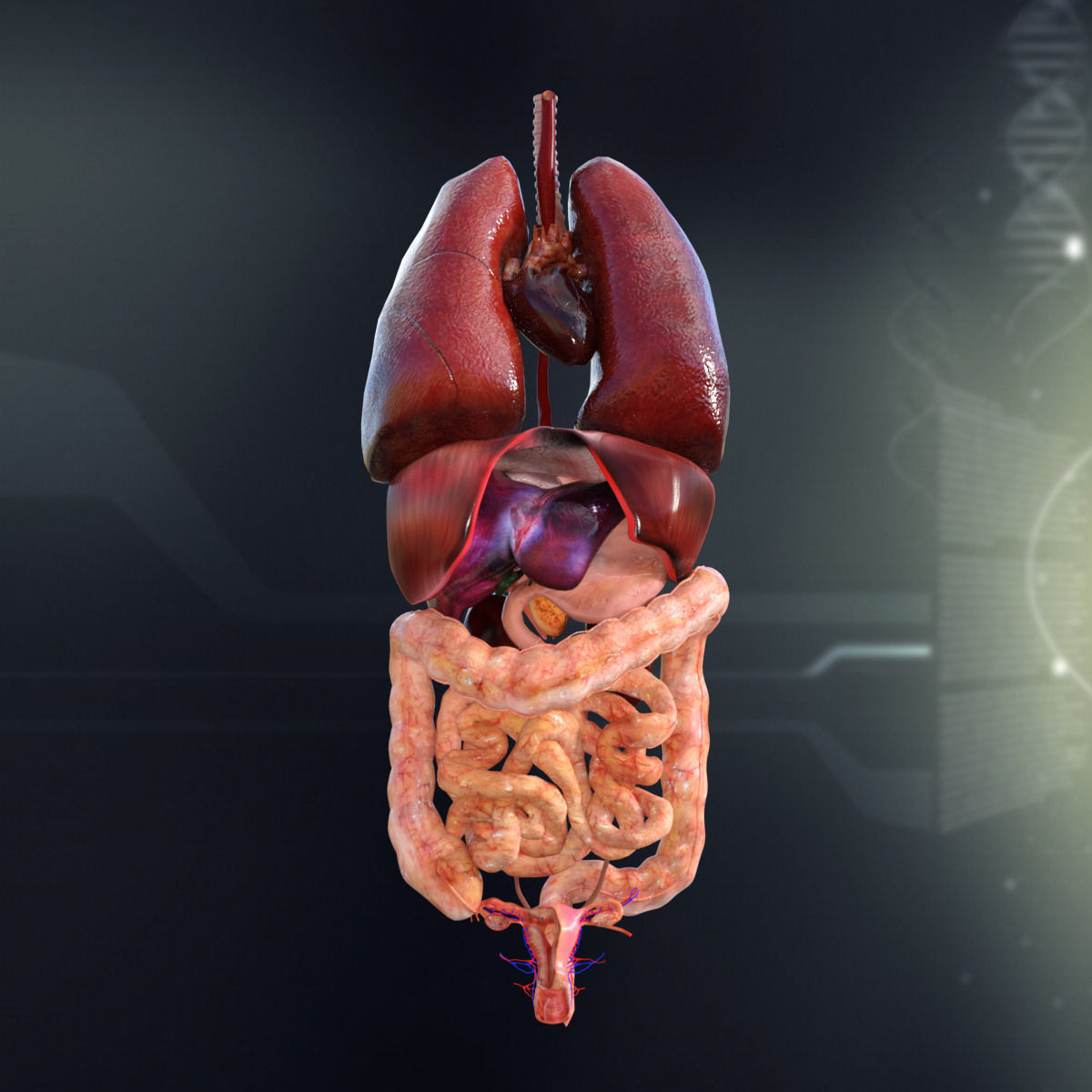Human Female Internal Organs Anatomy 3d Cgtrader