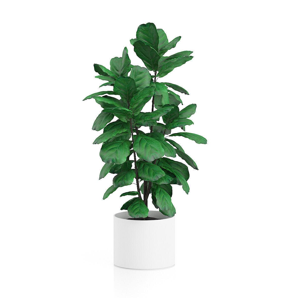 potted ficus tree 3d model max obj fbx c4d mtl 3 - Ficus Trees