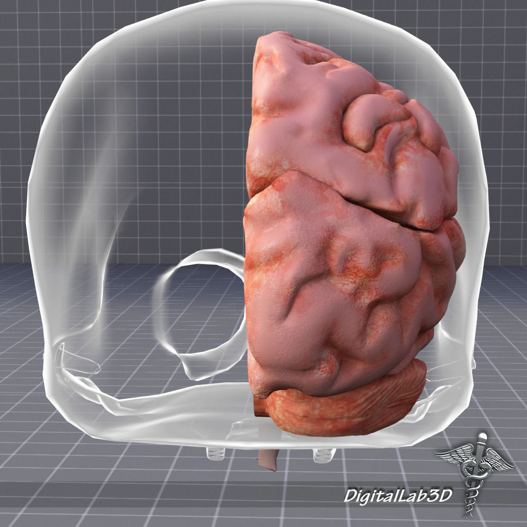 Human Brain Anatomy Sulcus 3d Model Cgtrader