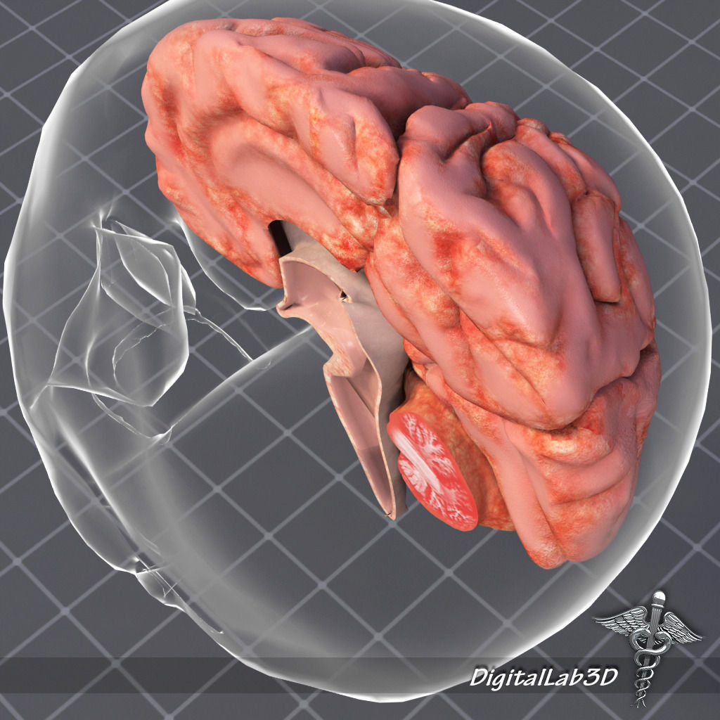 Human Brain Anatomy Sulcus 3d Model Cgtrader