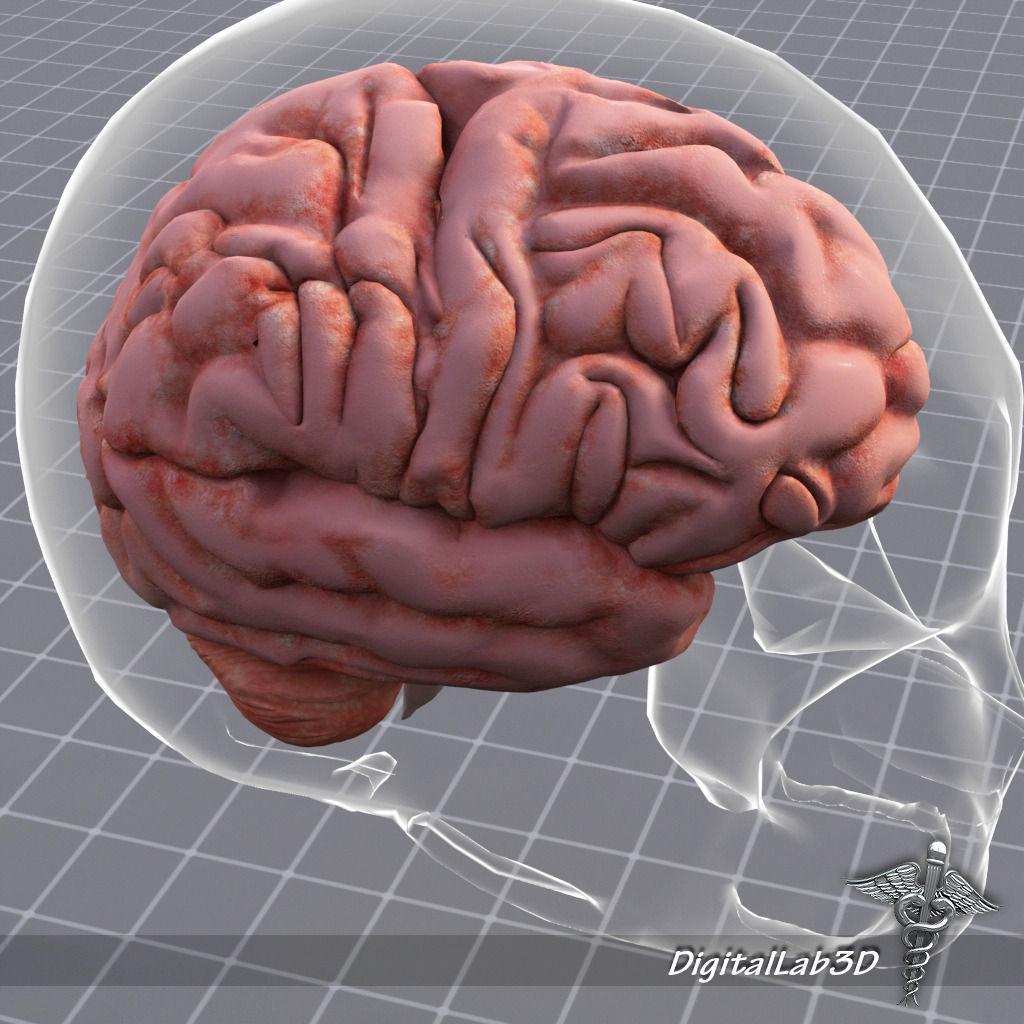 Human Brain Anatomy sulcus 3D model | CGTrader
