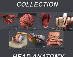 Head Anatomy Collection 3D Model