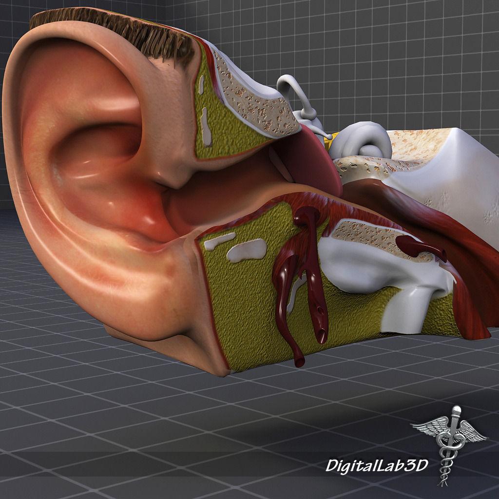 Ear Anatomy drum 3D model | CGTrader