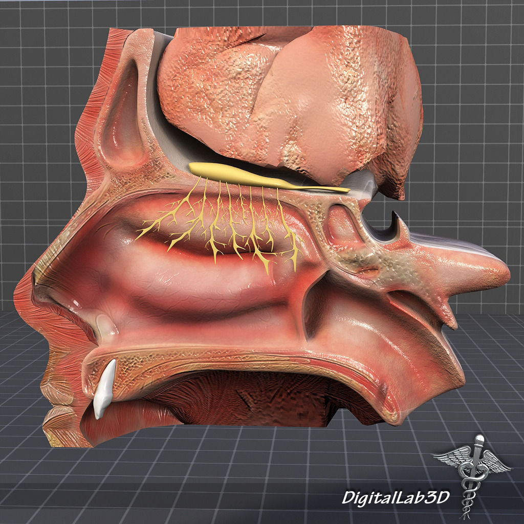 3d Model Nose Anatomy Cgtrader