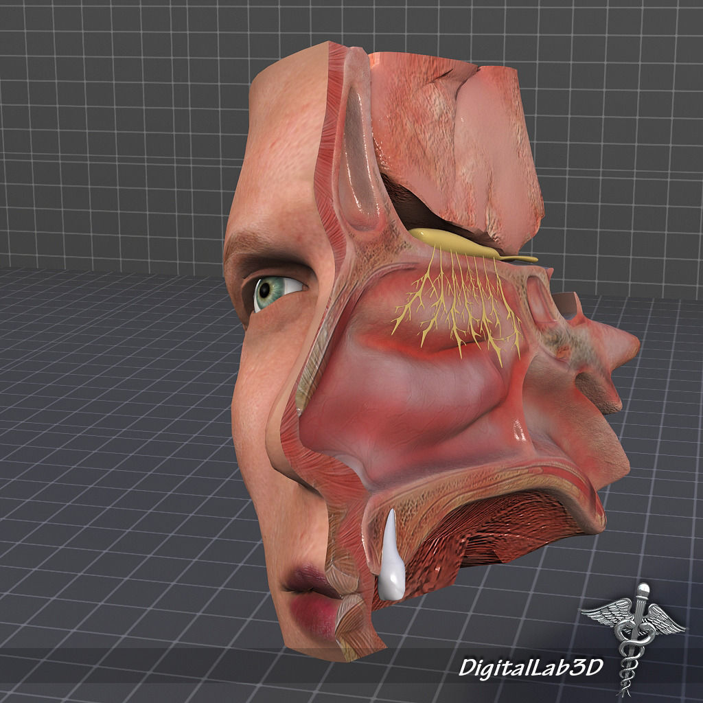 3d Nose Anatomy Cgtrader