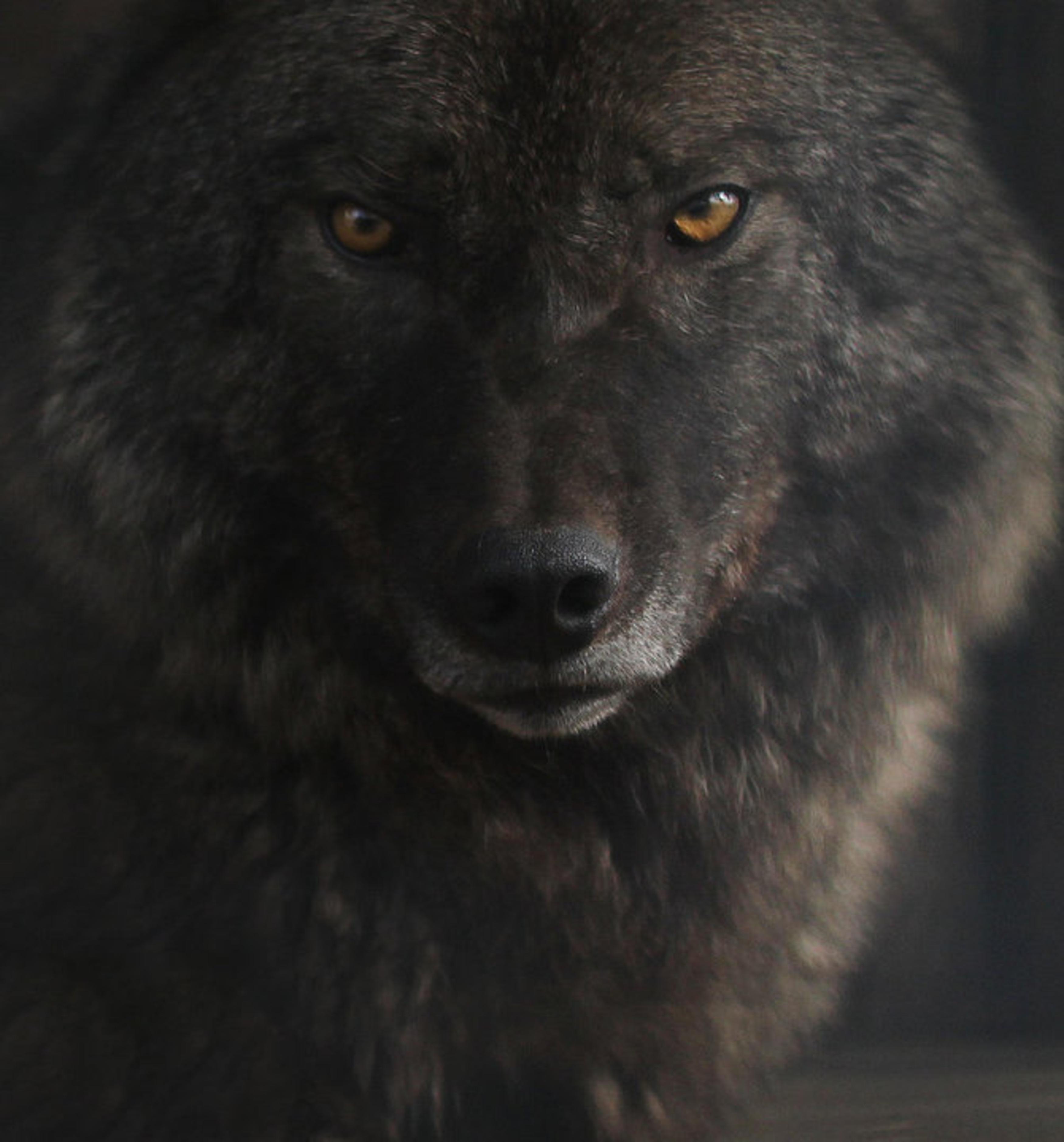 black red eyes wolf free 3D Model rigged BLEND - CGTrader.com