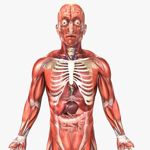 Rigged - Human Male Anatomy