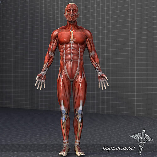 collection - human male and female muscular system 3d model obj, Muscles