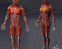 collection - human male and female muscular system 3d model obj fbx c4d lwo lw lws ma mb hrc xsi