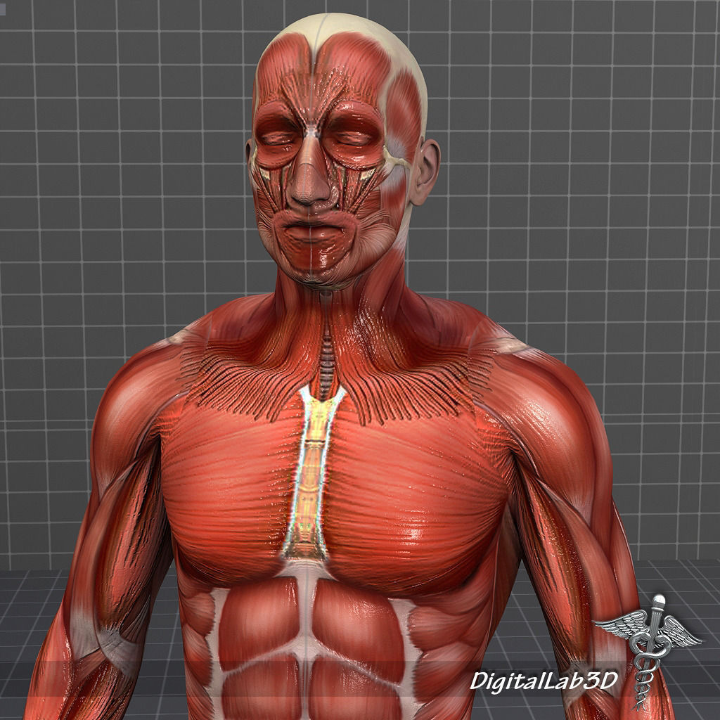 Collection Rigged - Male and Female Muscular System 3D