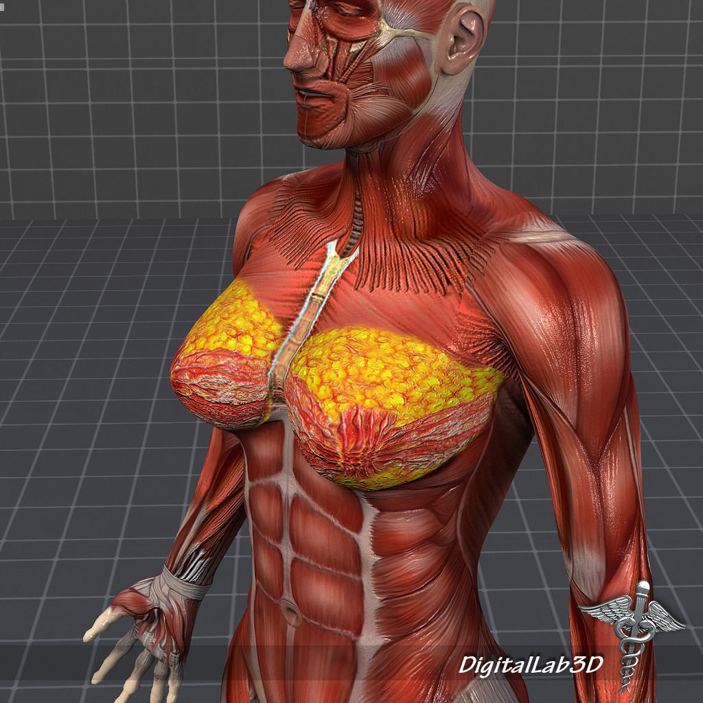 3D model Human Female Muscular System | CGTrader