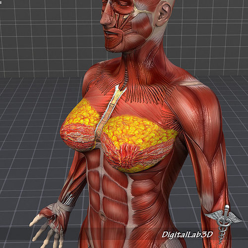 3d model human female muscular system | cgtrader, Muscles
