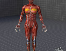 human female muscular system 3d