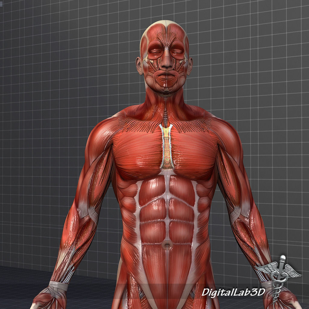 human male muscular system 3d model max obj 3ds fbx c4d lwo lw lws, Muscles
