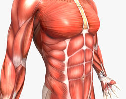 Rigged - Human Male Muscular System 3D Model