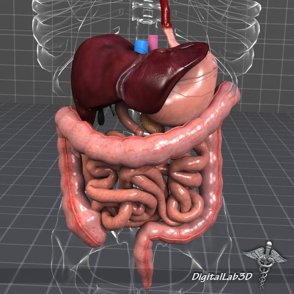 anatomy Human Digestive System 3D | CGTrader
