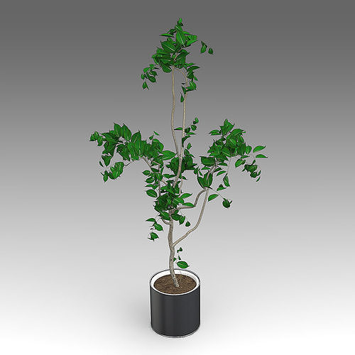 ficus growth plant 11 3d model fbx lxo lxl 1