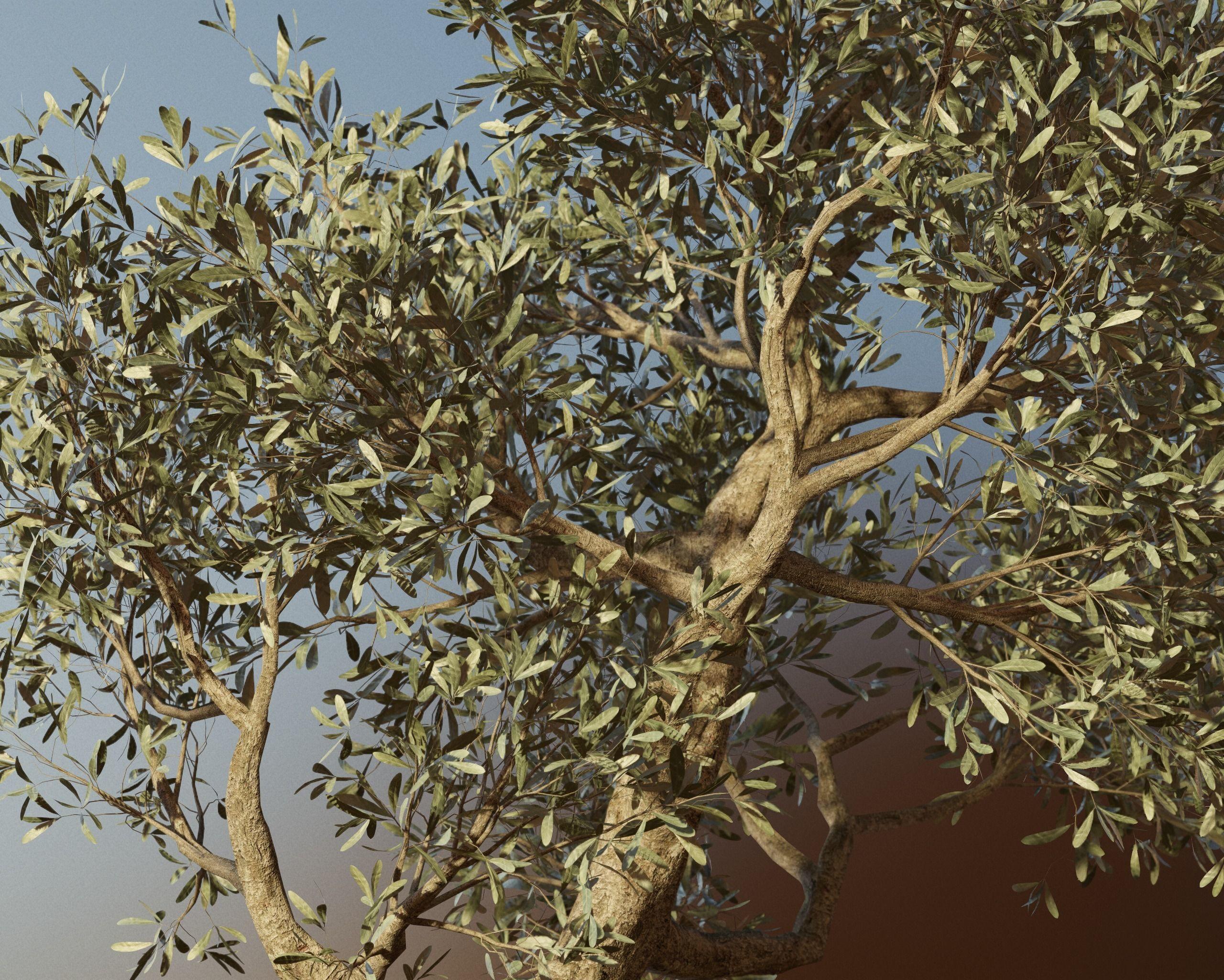 Set of 6 Olive Trees