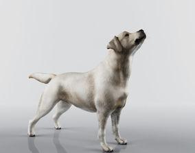 Labrador Retriever Low poly 3D
