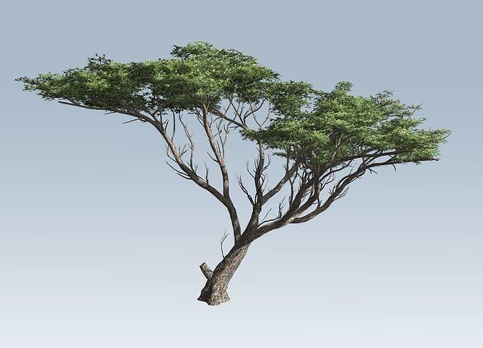 3d Acacia Tree Cgtrader