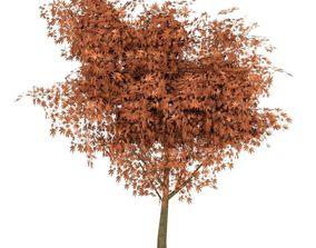 Maple Tree Autumn 3D asset