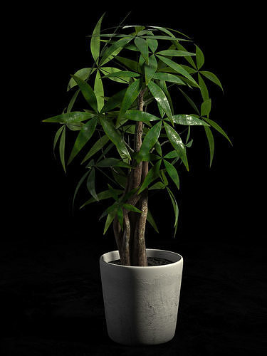 pachira money tree in pot 3d model max obj mtl fbx 1