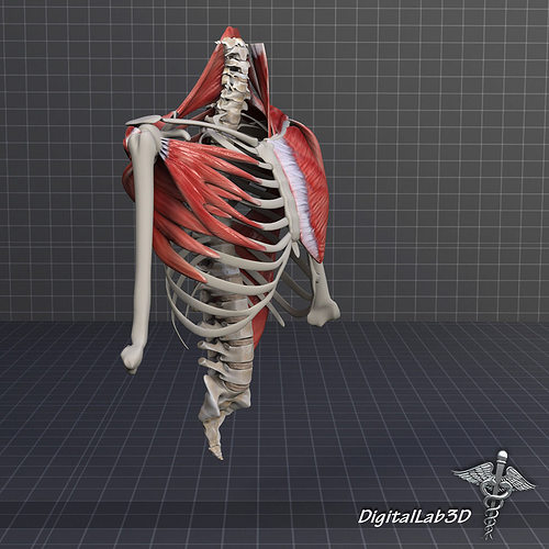 human upper skeletal and connecting muscles 3d model max obj 3ds, Muscles