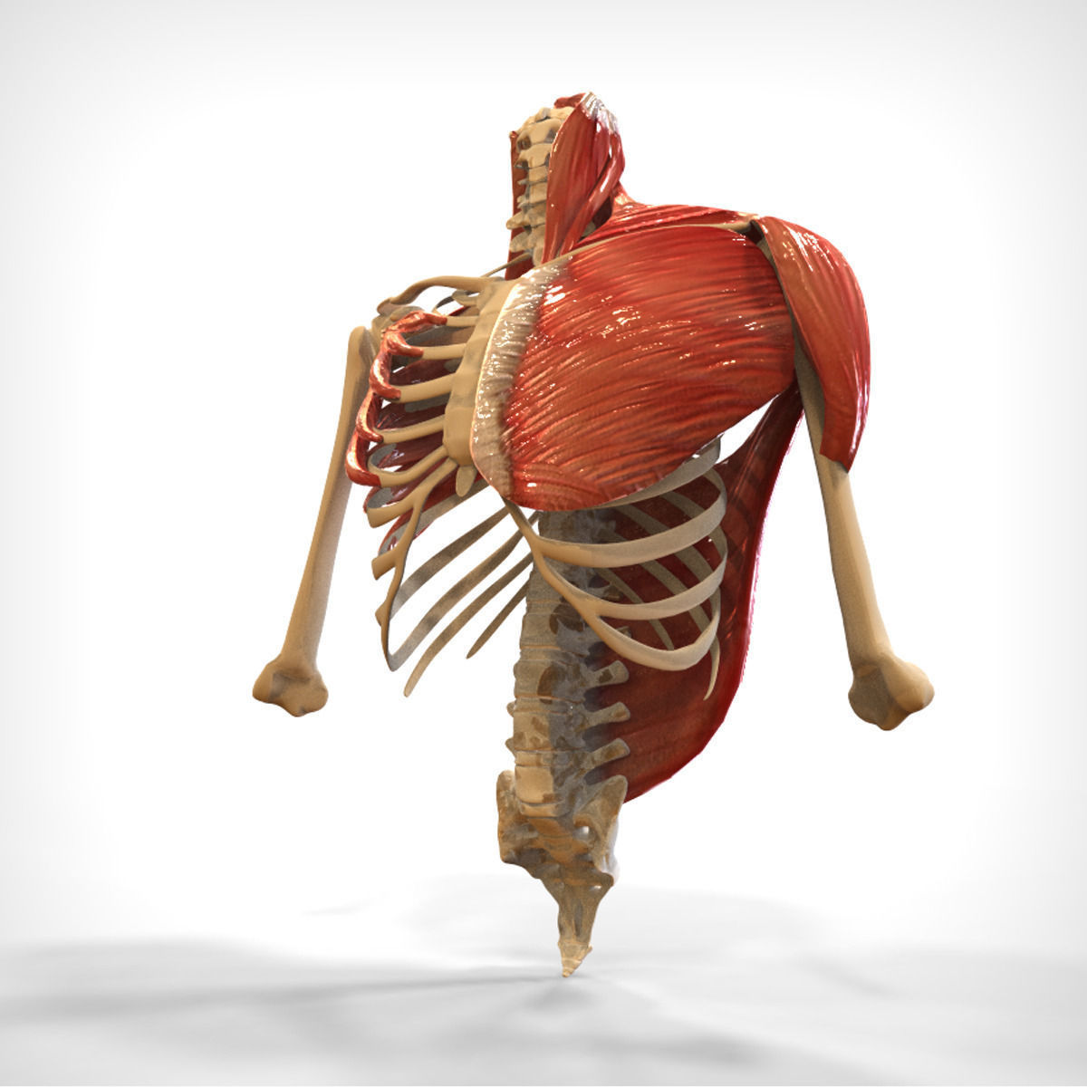 3d Human Upper Skeletal And Connecting Muscles Cgtrader