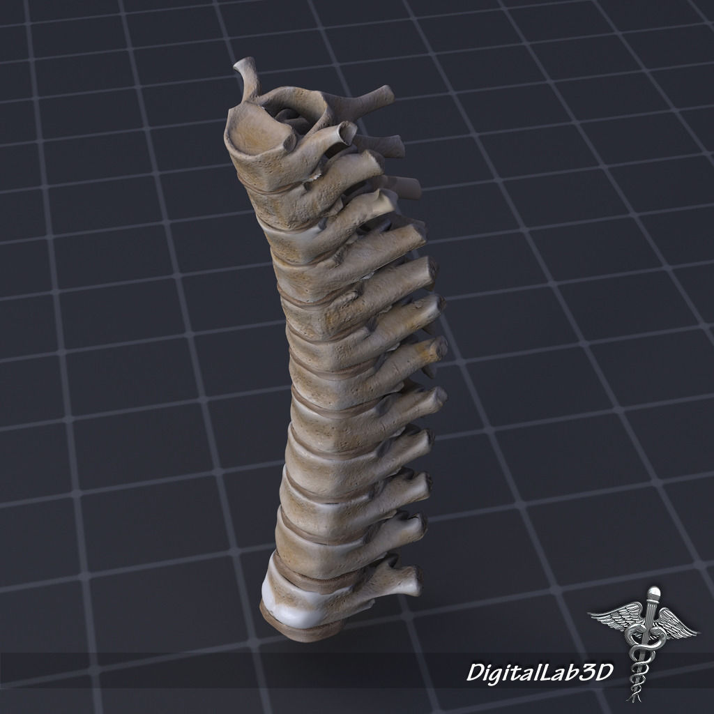 Human Thoracic Vertebrae