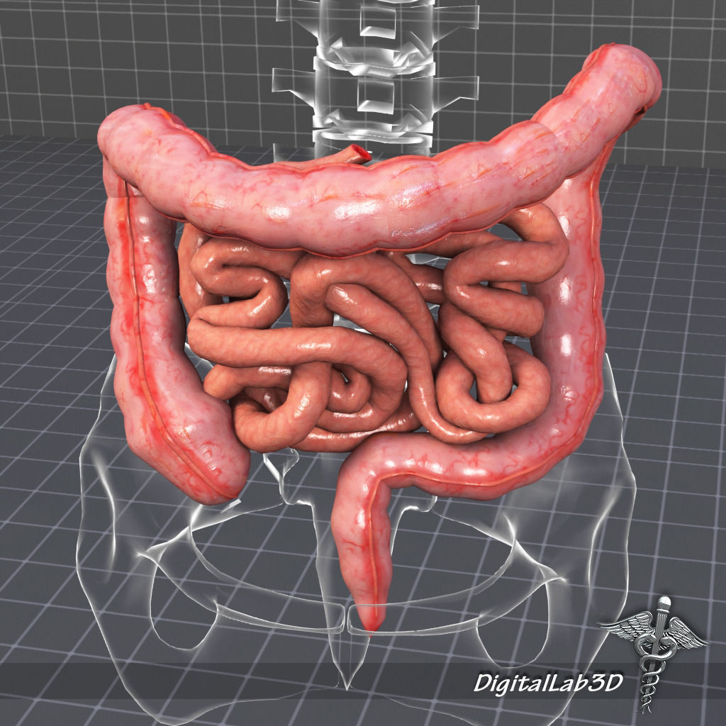 Human Large and Small Intestines 3D | CGTrader