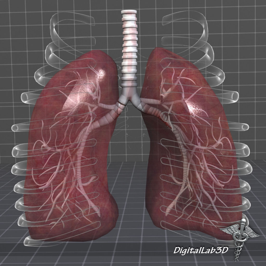 3d Model Lungs Anatomy Cgtrader