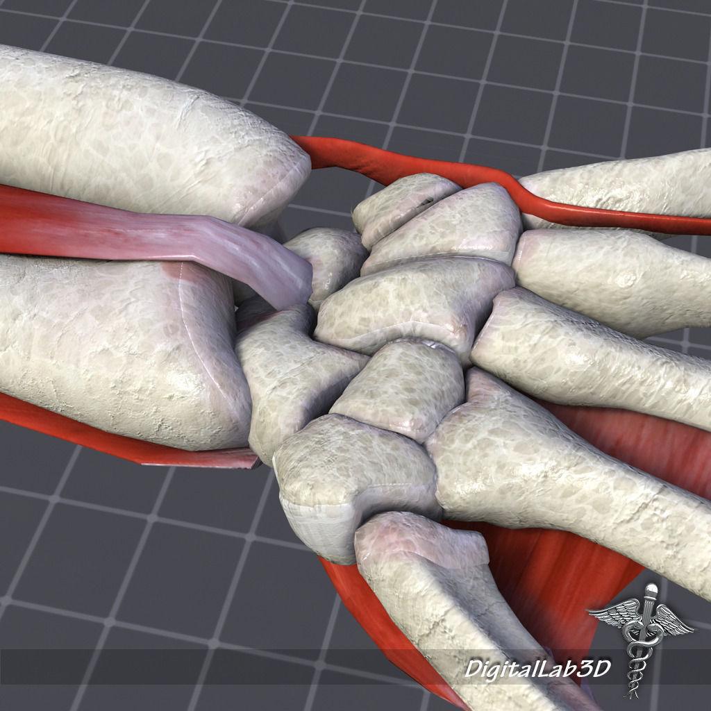 Human Wrist Bone Structure 3d Model Cgtrader