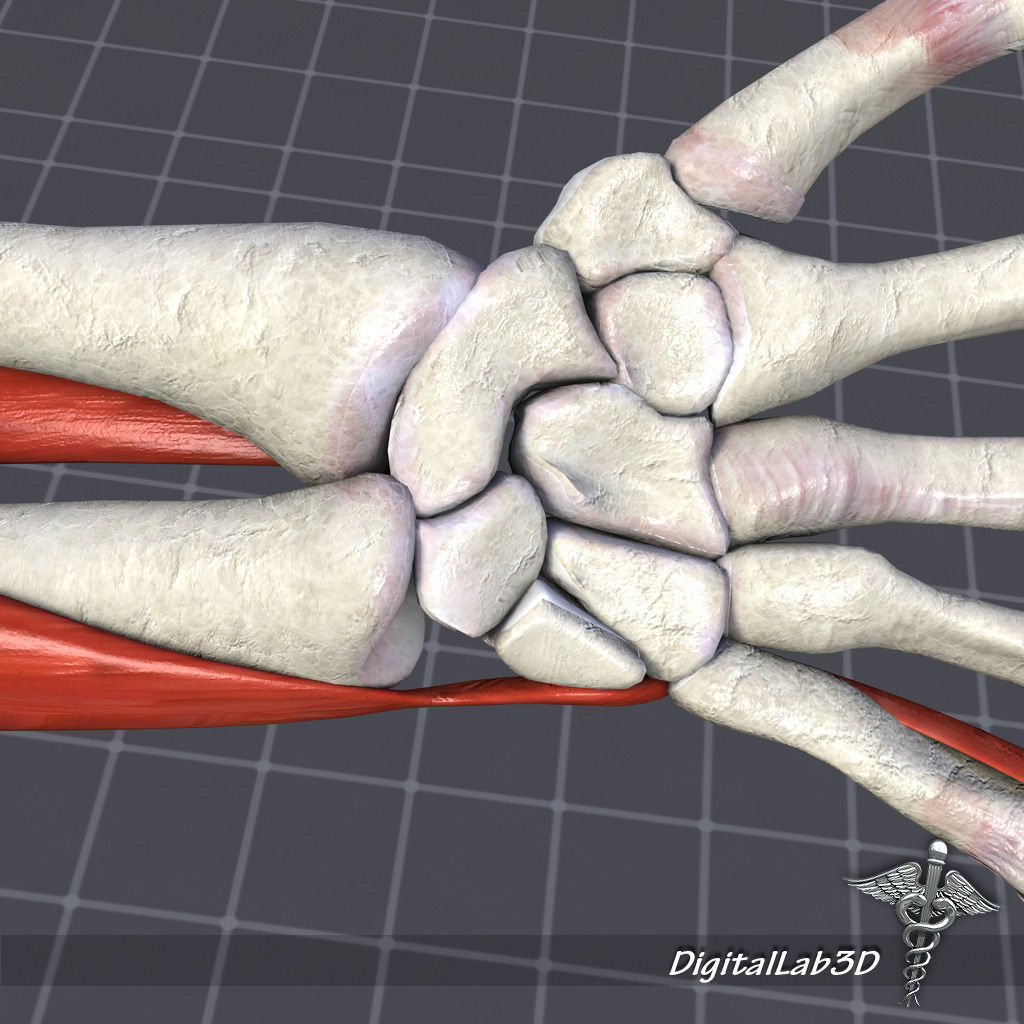 3D Human Wrist Bone Structure | CGTrader