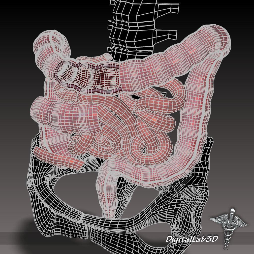 Human Large and Small Intestines Anatomy 3D model MAX OBJ 3DS FBX ...