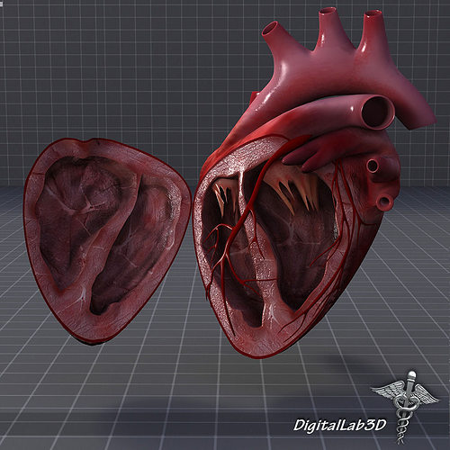 Human Heart Anatomy 1 3D   CGTrader