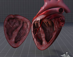 Human Heart Anatomy 1 3D Model