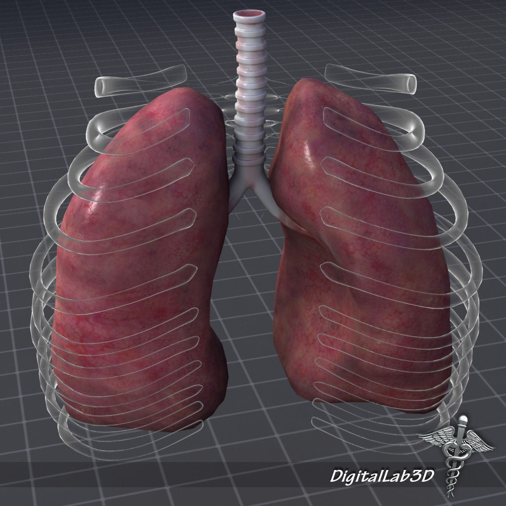 Lungs External