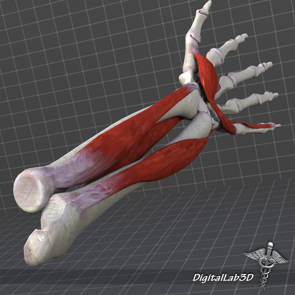 human forearm bone and muscle structure 3d model max obj 3ds fbx, Muscles