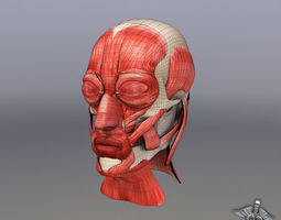 3D model Facial Muscle Structure